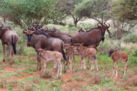 suid: Blue Wildebeest Stock Photo