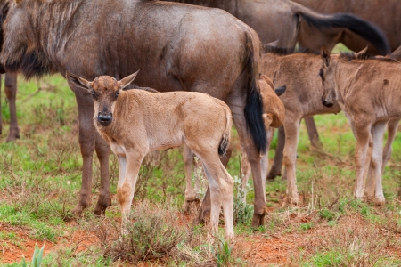 afrika: Blue Wildebeest Calves