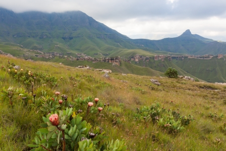 suid: Proteas in the Maluti Mountains
