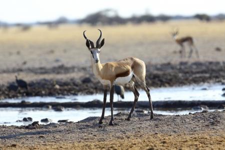 springbok: Springbok at waterhole
