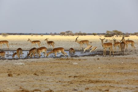 springbok: Impala and Springbok at the waterhole