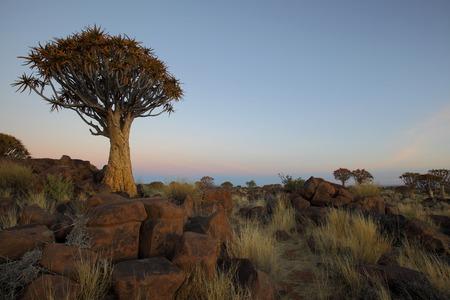quiver: Quiver Trees Stock Photo