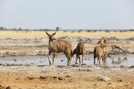 waterhole: Kudu s at the waterhole in Nxai Pan NP