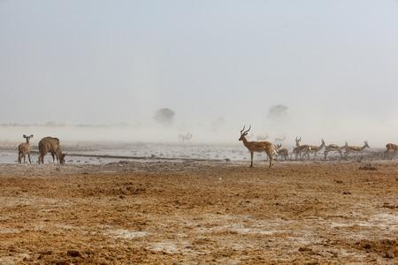 springbuck: Kudu s, Impala s and Springbuck at a dusty waterhole Stock Photo