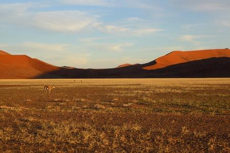 springbuck: Springbuck in Namib Naukluft NP