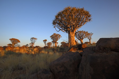 quiver: Sunrise at Quiver Tree Forest Stock Photo