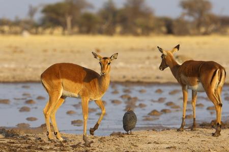 np: Impalas at Nxai Pan NP