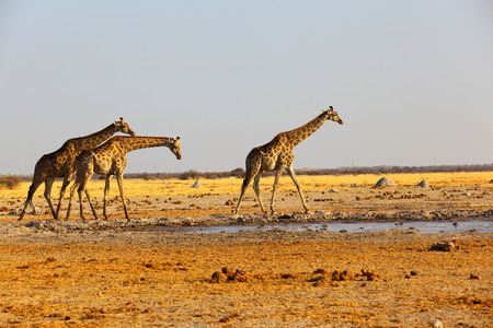 waterhole: Giraffes at the waterhole Stock Photo