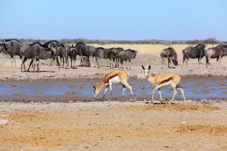 waterhole: Springbok at muddy waterhole