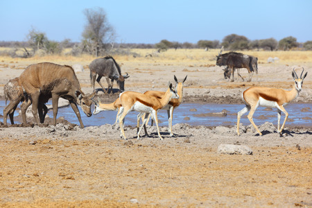 pozo de agua: Springbok y kudu en la charca fangosa