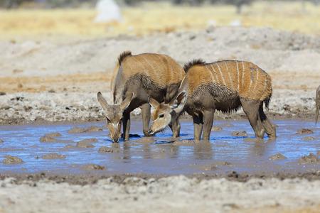 waterhole: Potable de Kudu en la charca fangosa