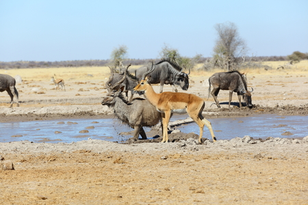 Drinking time at the waterhole photo
