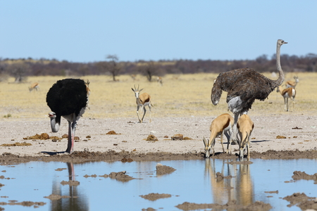 waterhole: Ostriches and springbok at the waterhole
