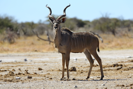 Kudu on the lookout Stock Photo