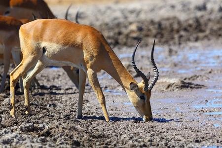 pozo de agua: Impala drinking water at muddy waterhole
