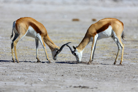 standoff: Springbok stand-off Stock Photo