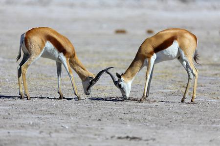springbok: Springbok stand-off Stock Photo