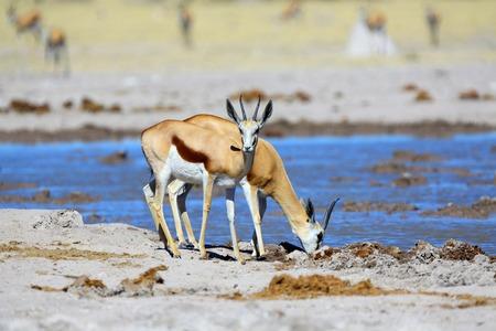 springbok: Springbok drinking water