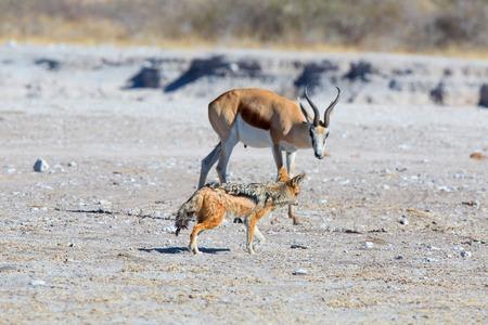 springbok: The Springbok and the Jackal
