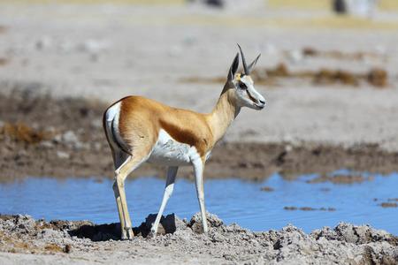 springbok: One horn springbok at the water Stock Photo