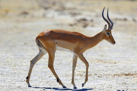 pozo de agua: Impala en el abrevadero Foto de archivo