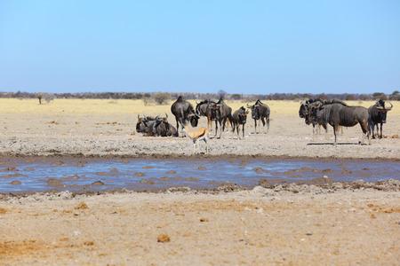 springbok: Blue wildebeest and springbok at waterhole