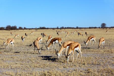 springbok: Springbok grazing Stock Photo