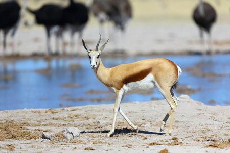 pozo de agua: Springbok con un cuerno en la charca Foto de archivo