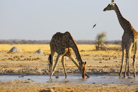 pozo de agua: Giraffe drinking water at the waterhole