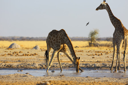 pozo de agua: Jirafa de agua potable en el abrevadero