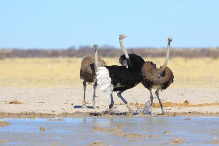 an ostrich: Male ostrich showing off