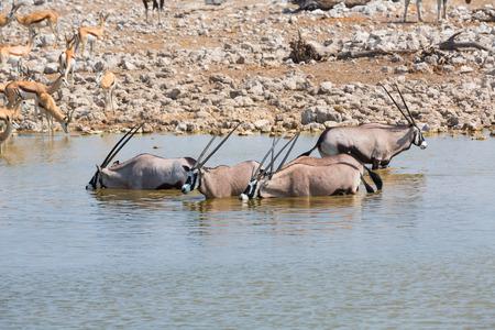 np: Oryx drinking water in Etosha NP