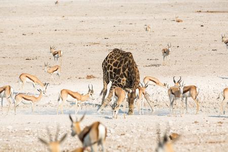 springbok: Giraffe and springbok drinking water