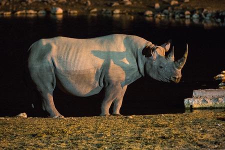pozo de agua: Rinoceronte negro en el agua por la noche