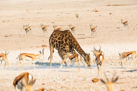 np: Giraffe drinking water in Etosha NP