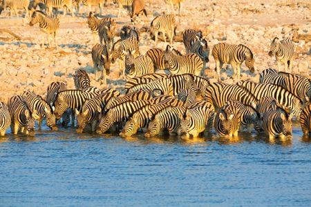 np: Zebras drinking water at Etosha NP Stock Photo