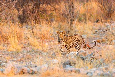 np: Leopard in Etosha NP