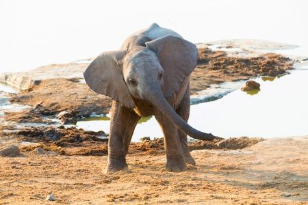 waterhole: Young Elephant at the waterhole Stock Photo