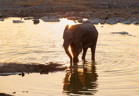 pozo de agua: Elefante joven en la charca al atardecer