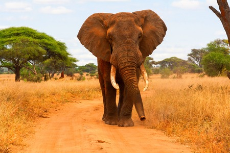 animales safari: Elephant walking  Foto de archivo