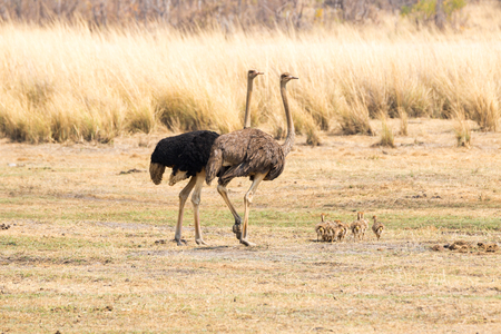 ostrich: familia de la avestruz Foto de archivo