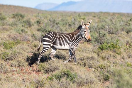 np: Mountain Zebra in Karoo NP Stock Photo