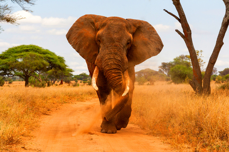 dusting: Elephant dusting and walking Stock Photo