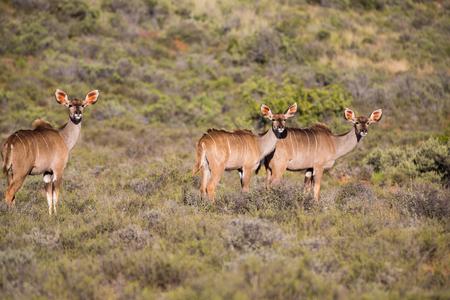 np: Kudus in the Karoo NP