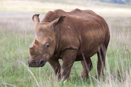 nashorn: De-gehörnte White Rhino Lizenzfreie Bilder