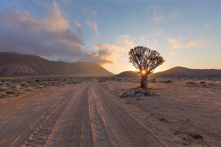 quiver: Quiver Tree with Sun Starburst sunrise Stock Photo