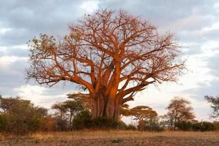 np: Baobab Tree in Tarangire NP