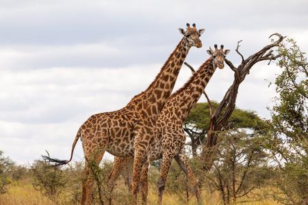 np: Masai Giraffes - Tarangire NP