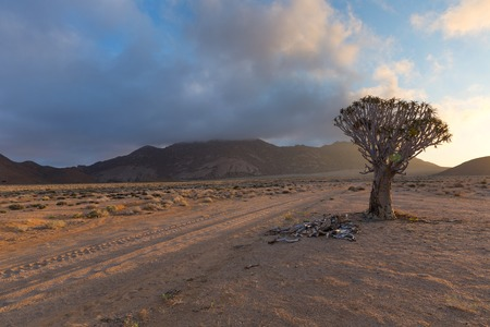 quiver: Quiver Tree next to the road