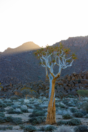 quiver: Quiver Tree in Richtersveld Stock Photo
